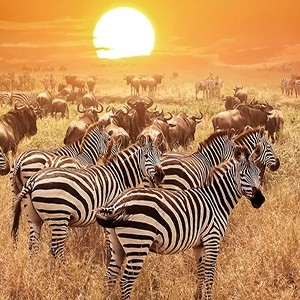 Zebra at sunset in the Serengeti National Park. Africa, Tanzania Photo Credit: Traveller24
